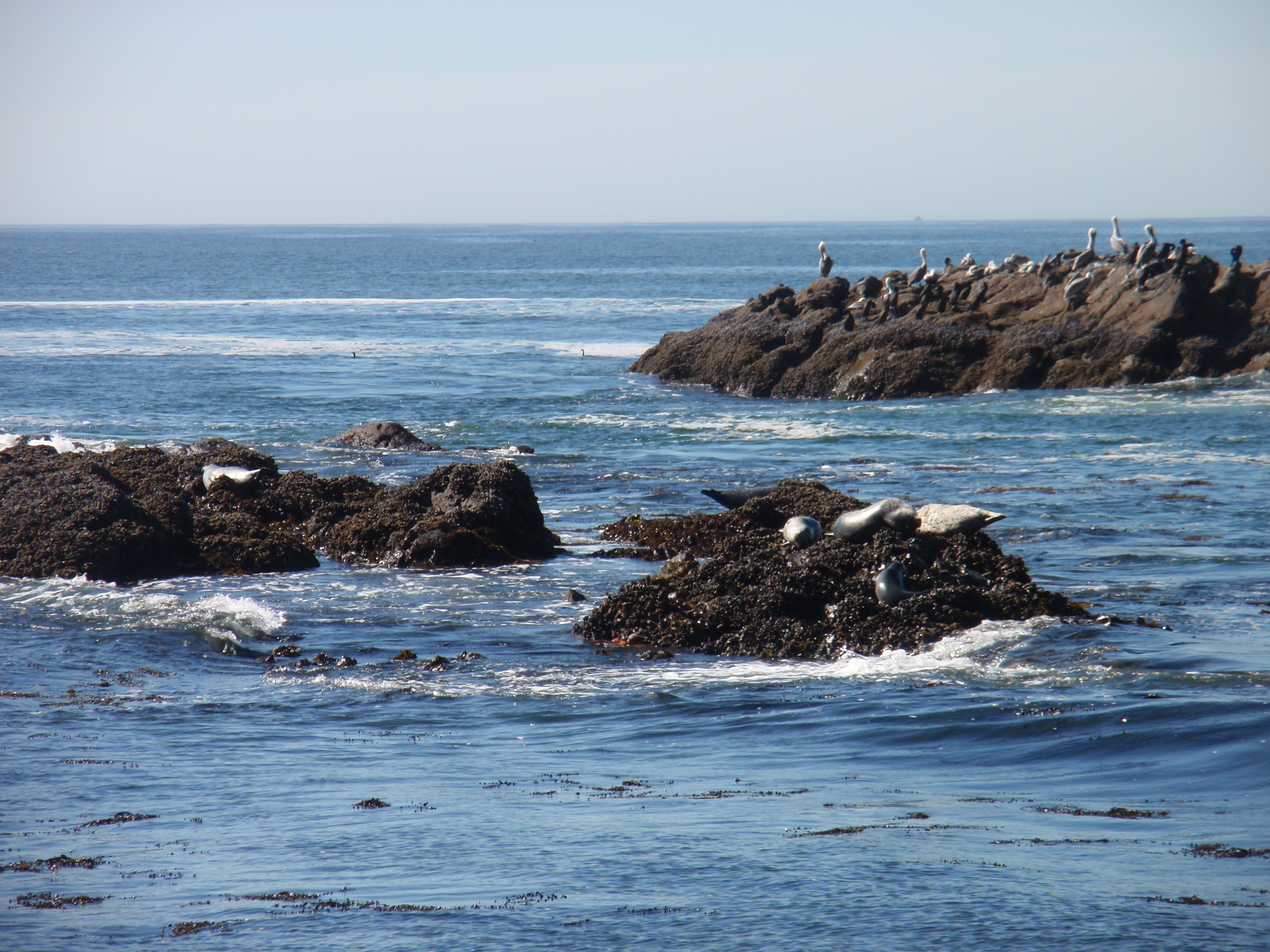 Pelicans & pinnipeds