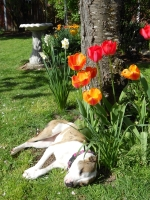 Puppy sleeping in tulips