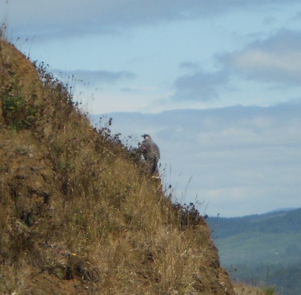 peregrine falcon on hillside