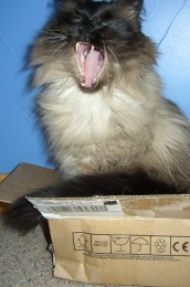 photo of cat yawning