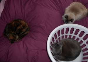Photo of three cats laying on a bed with a dark pink cover. one cat is in a laundry basket.
