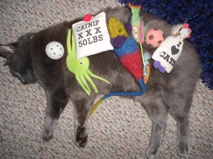 Photo of gray cat laying on side with toys on top