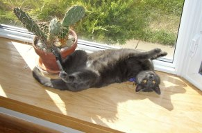 Photo of a gray cat laying in a sunny window near a pot of cactus.