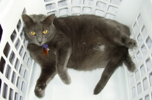 Photo of gray cat in a white plastic laundry basket