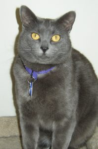 Photo of a gray cat with gold eyes